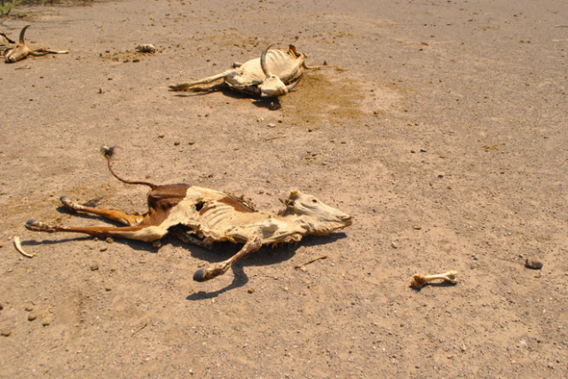 """Carcasses of cattle litter the landscape in northeastern Ethiopia. More than 80 percent of Ethiopia's population works in agriculture, making the country especially vulnerable to drought."" New York Times"
